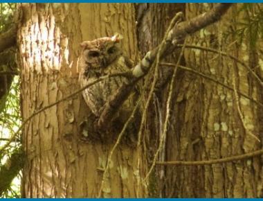 Adult roosting against tree trunk G. Ferguson