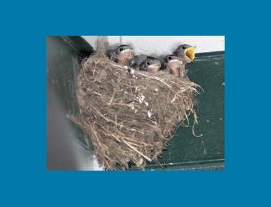 Nestlings in typical mud nest Walter Seigmund Wikipedia