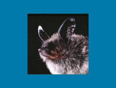 Keen's Long-eared Myotis US National Parks Service