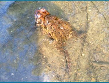 Toad pair in amplexus USFWS