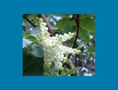 Arbutus floral spikes Seglea Wikipedia