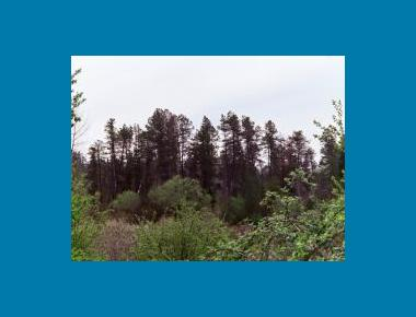 Shore pine stand in bog