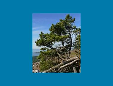 Shore pine on marine bluff W. Siegmund Wikipedia