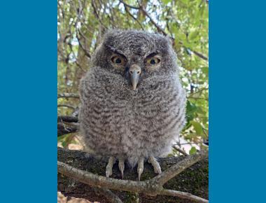 Owlet Camera Trap Codger