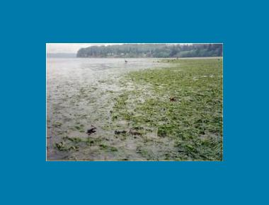 Eelgrass Mudflat WA State Dept. of Natural Resources