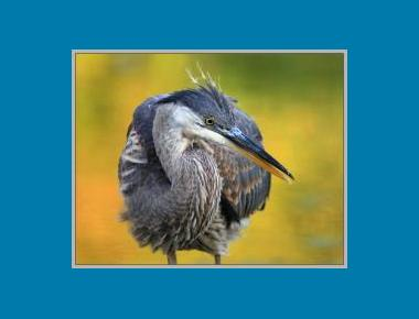 Juvenile Great blue Heron winnu (Flickr)