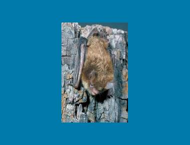Keen's Long-eared Myotis Roger Barbour