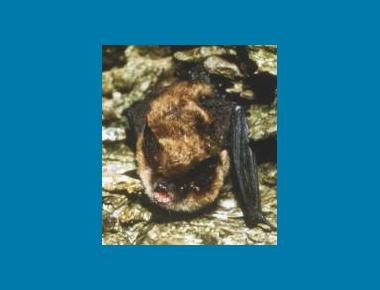 Keen's Long-eared Myotis Mark Carema