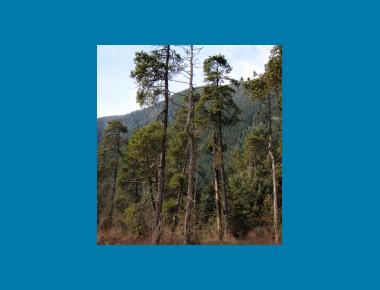 Shore pine stand pocket bog P. Zevit