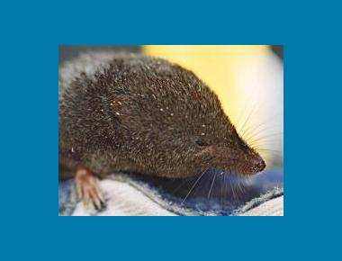 Pacific Water Shrew Chris Schmidt